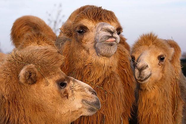 Верблюжья семья