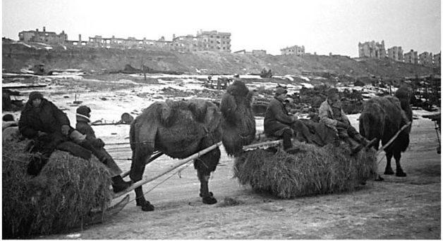 Верблюды у Сталинграда