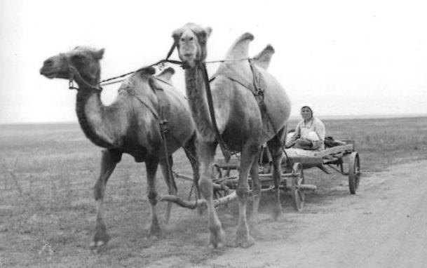 Только за один рейс упряжка из двух верблюдов перевозила около 2 тонн различных грузов, что заменяло грузовик.