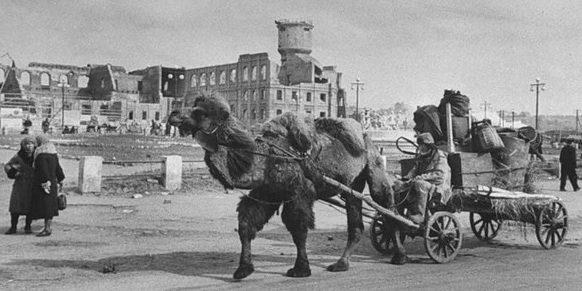 Верблюды на хозработах