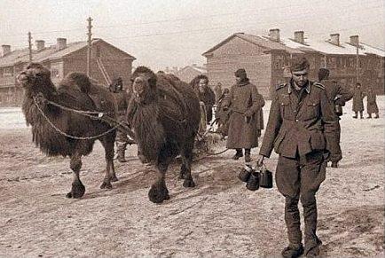 Верблюды, захваченные в качестве трофеев