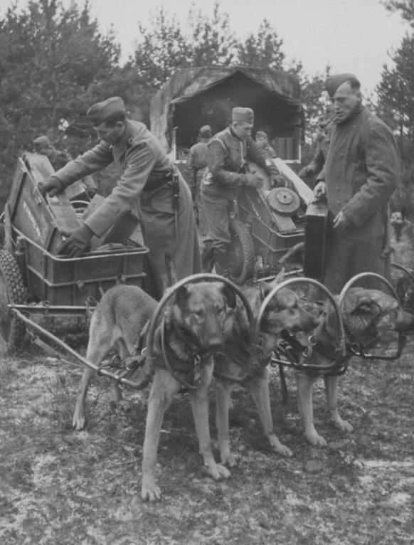 Укладка боеприпасов в собачьи упряжки. 1943 г.