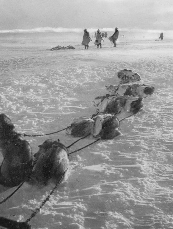 Собачья упряжка горных егерей. Кольский полуостров. 1942 г.