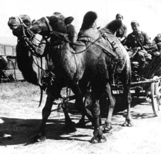 Верблюды в Сталинграде в качестве тягловой силы.