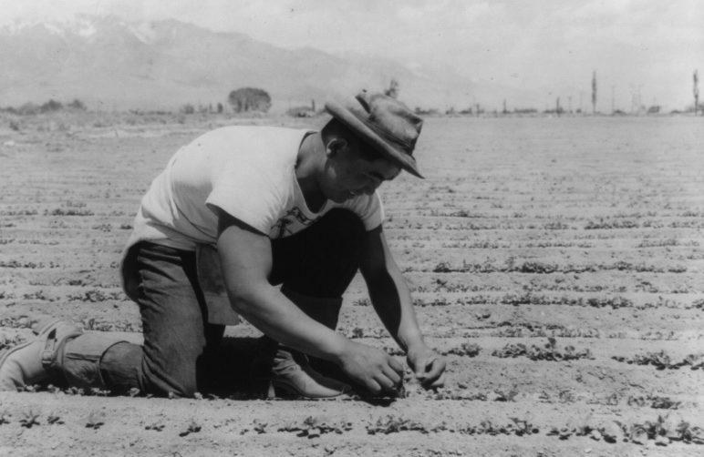 Ичиро Окумура в лагере « Манзанар» (Калифорния) сажает белую редиску. Июнь 1942 г.