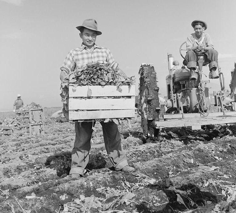 Сбор шпината. Лагерь «Tule Lake» (Калифорния). Сентябрь 1942 г.