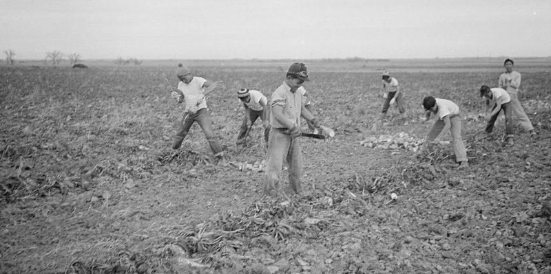 Сбор урожая сахарной свеклы в Амахе (Колорадо). Ноябрь 1942 г.