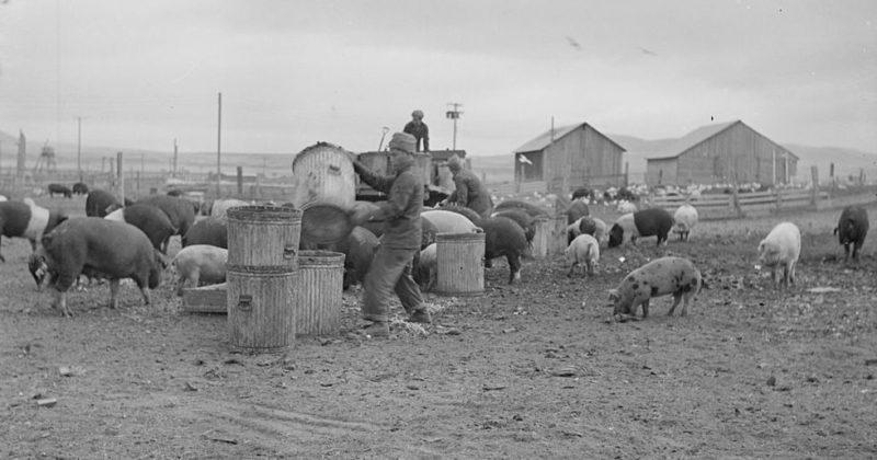 Пищевые отходы доставили на свиноферму. Лагерь «Tule Lake» (Калифорния). Ноябрь 1942 г.