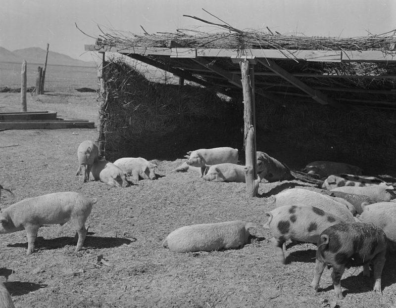 Свиноферма лагеря «Topaz» (Юта). Март 1943 г.