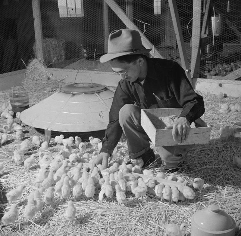 Местная птицефабрика. Лагерь «Tule Lake» (Калифорния). Май 1943 г.