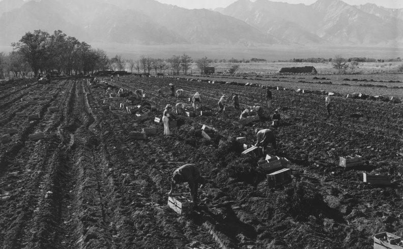 Японцы на картофельном поле лагеря «Манзанар». 1943 г.