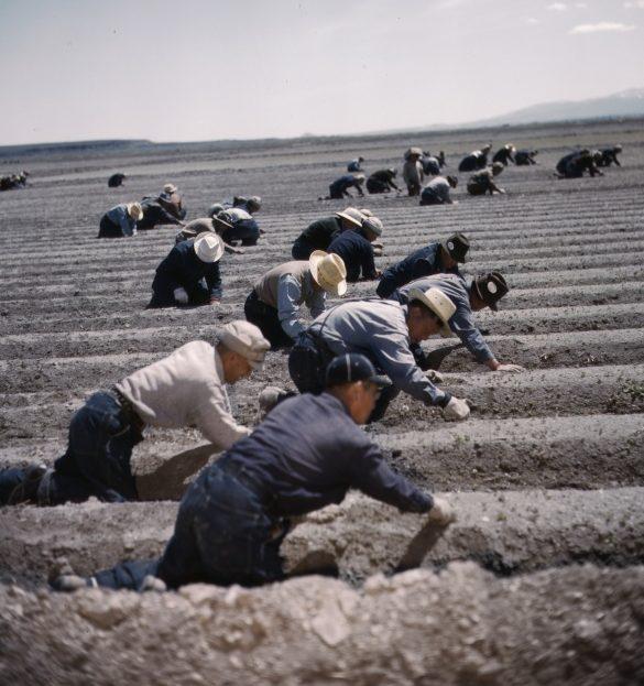 Японцы на работах в поле лагеря «Тьюл Лэйк». 1943 г.