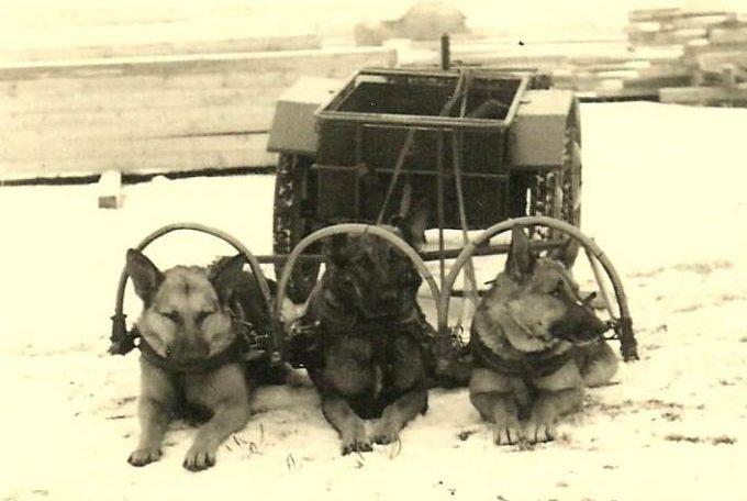 Ездовые собаки.