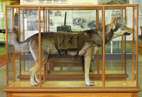Собака-истребитель танков в Музее истории инженерных войск.
