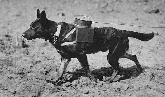 Собака-связист с телефонной катушкой на спине.