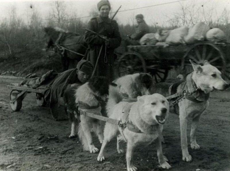 Собачьи упряжки вывозят раненых.