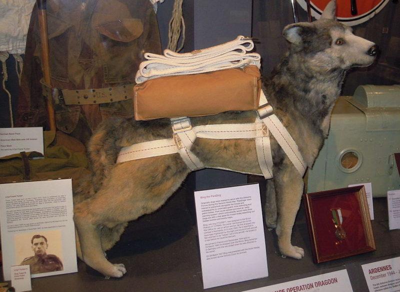 Собака-парашютист Бинг в Музее истории воздушно-десантных войск в Даксфорде.