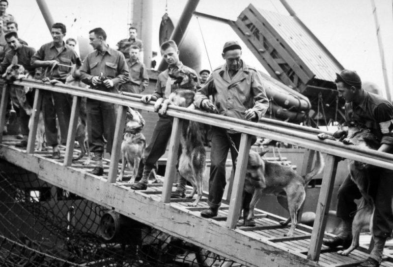 Служебные собаки в морской пехоте.