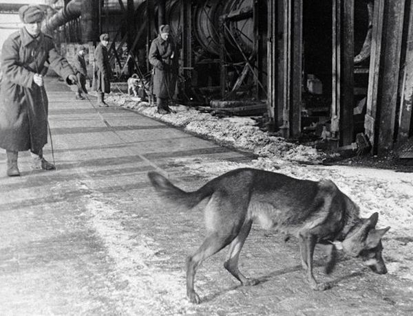 Минно-розыскные собаки.