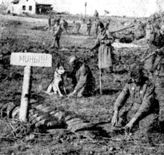 Знаменитый ленинградский колли Дик. За годы войны обнаружил более 12 тысяч мин, принимал участие в разминировании Сталинграда, Лисичанска, Праги и других городов.