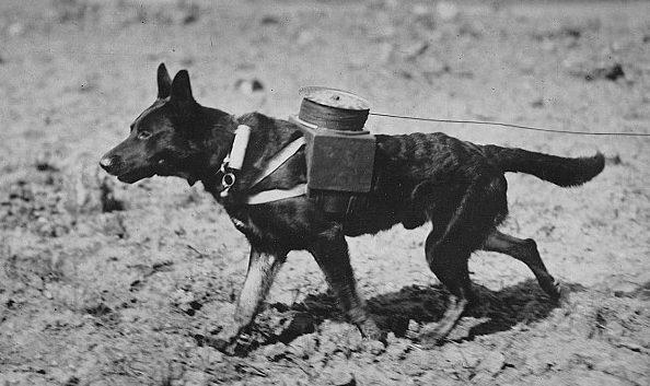 Собаки-связисты.