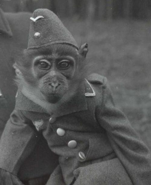 «Мобилизация» цирковых обезьян. Все на фронт!