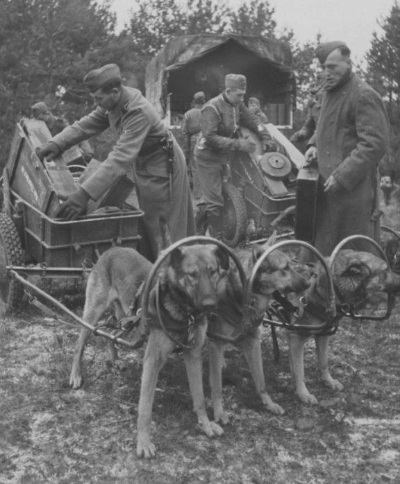 Укладка немцами боеприпасов в собачьи упряжки. 1943 г.
