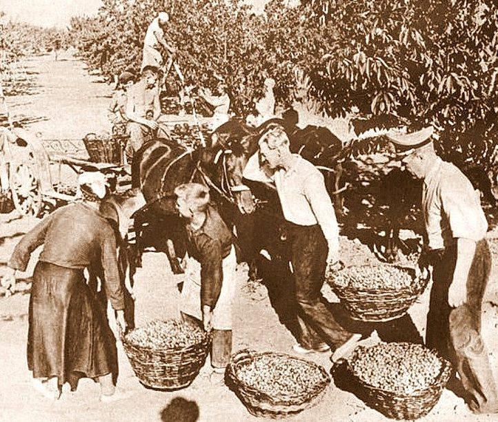 Немцы на сборе черешни. Лето 1943 года.