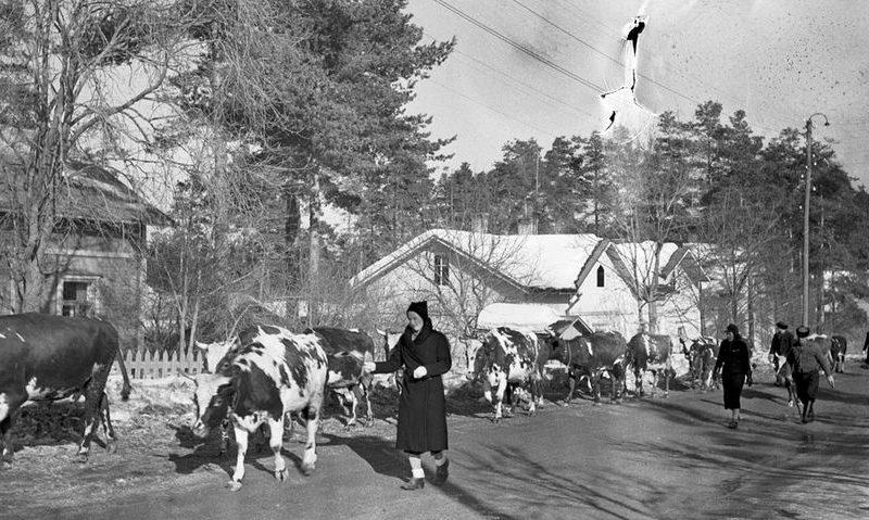 Скот беженцев в Хельсинки. Март 1940 г.