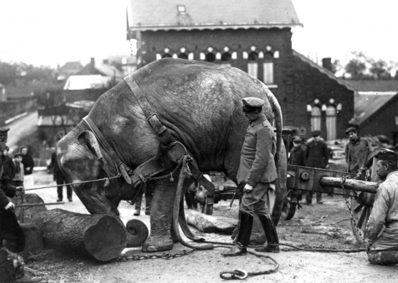 Немецкие солдаты используют индийского слона из Гамбургского зоопарка для переноски стволов деревьев в Валансьене. Франция, 1915 г.