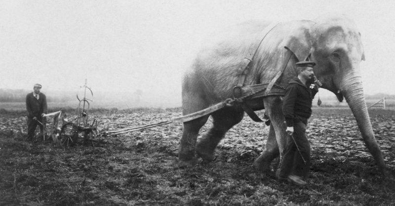 Слон из бельгийского зоопарка работает на ферме. 1915 г.