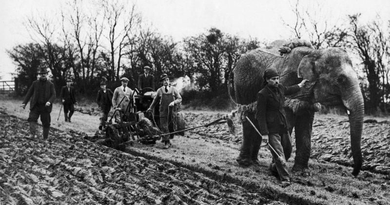 Слон Малыш из цирка Роберта Фоссета пашет землю неподалеку от Таустера, северная Англия. 1939 г.