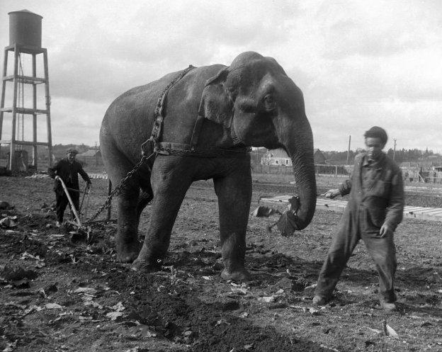 Слон из цирка Амар тянет плуг в поле оккупированной Франции. 1941 г.