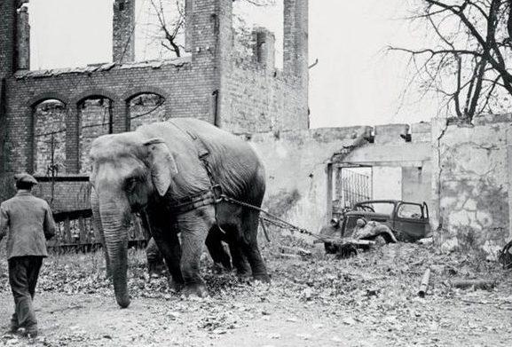 Цирковой слон на «общественных работах».