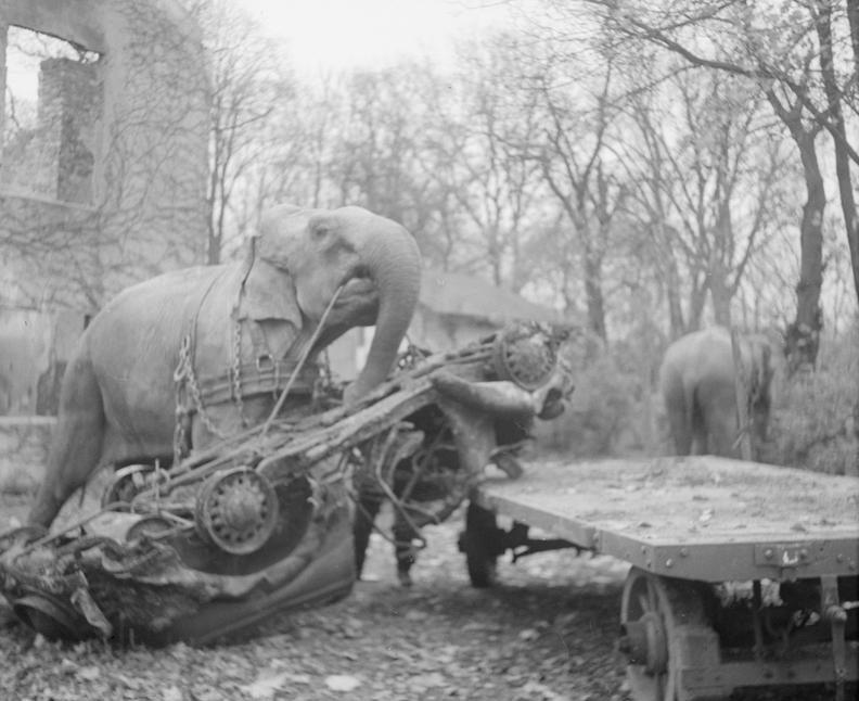 Цирковые слоны оказывают помощь в устранении последствий авианалета. Гамбург, 1945 год.