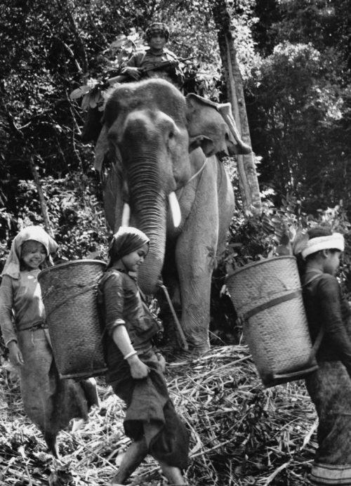 Слон на службе Вьетконга.