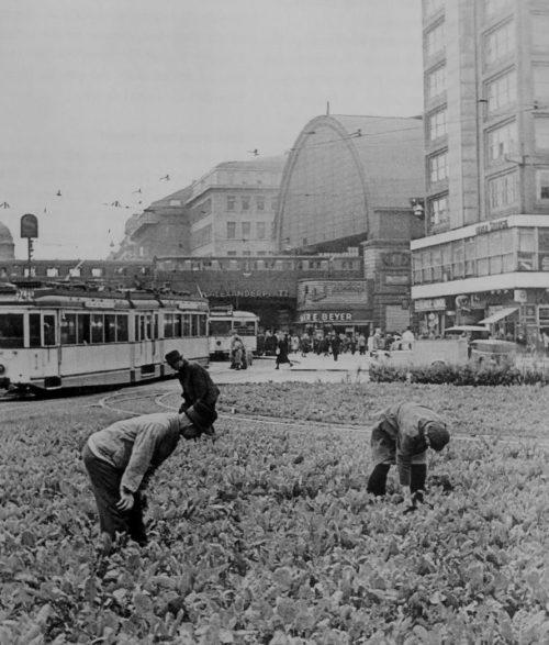 Овощи, выращиваемые на газоне на площади Александерплац в Берлине. 1943 г.