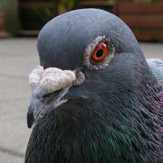 «Магнитный навигатор» в клюве голубя.