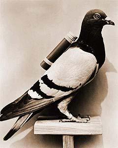 Почтовый голубь с контейнером на спине.