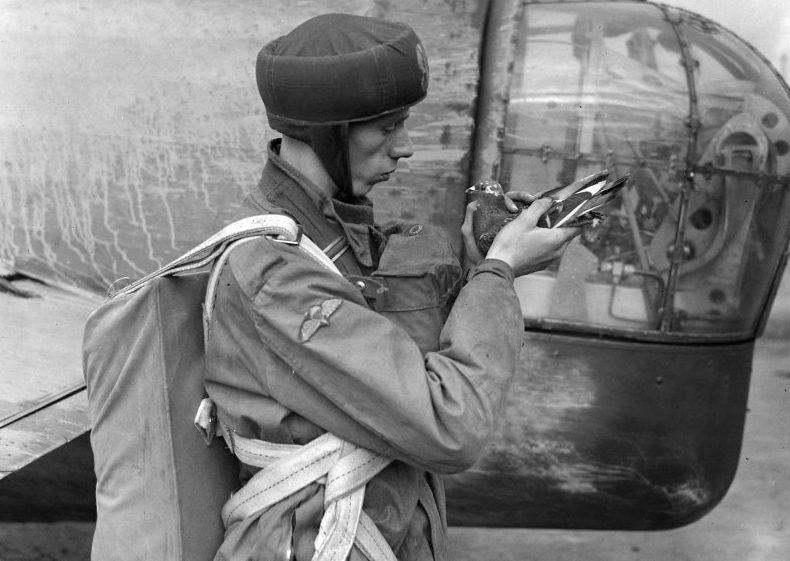 Британский десантник готовит почтового голубя перед вылетом.