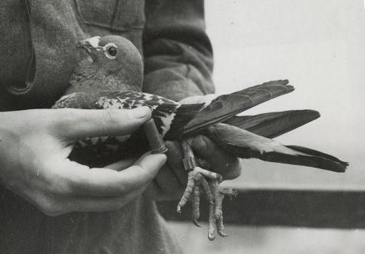 Крепление контейнера для депеш и к ножке голубя.
