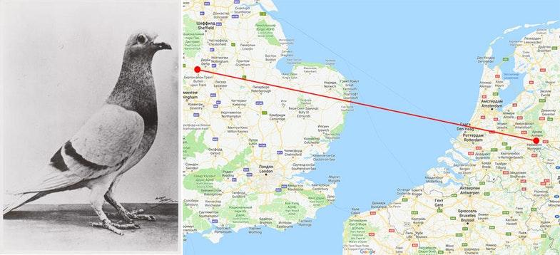 Голубь Вильям Оранский. На карте отмечен его путь из Нидерландов в Англию.