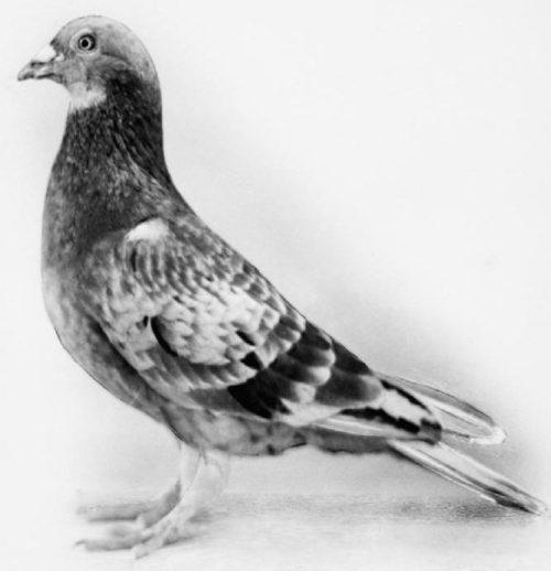 Фотография голубя Коммандос из архива Имперского военного музея.