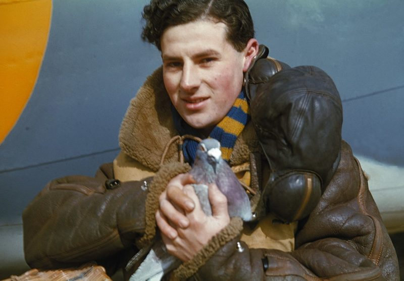 Член экипажа бомбардировщика с голубем-курьером. 1942 г.