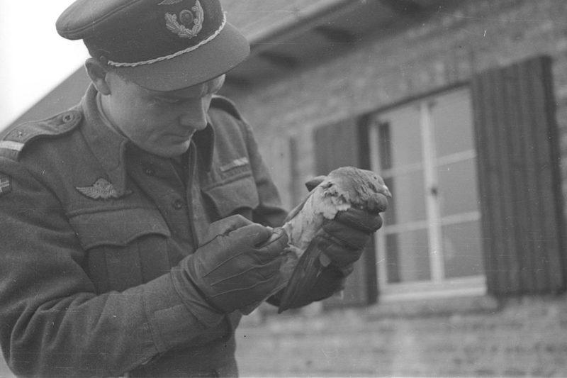 Норвежский летчик с почтовым голубем. 1944 г.