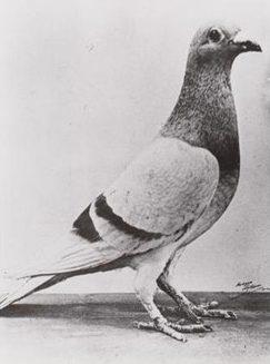 Голубь «Вильям Оранский» совершивший перелет на 400 км с Арнема в Британию. 1944 г.