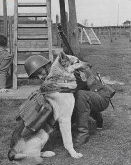 Польский солдат-связист закрепляет на спине овчарки контейнеры для переноски почтовых голубей.