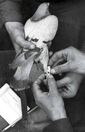 Прикрепление контейнера с депешей к ножке голубя.