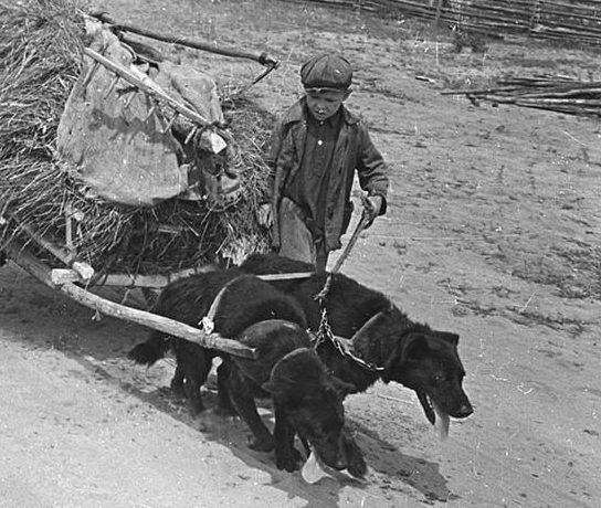 Тягловая сила в две собаки. Псковская область. 1944 г.