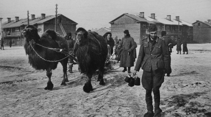 Немецкие военнопленные у верблюдов, запряженных в сани. 1943 г.